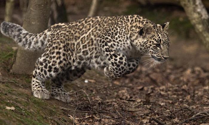 В Северной Осетии в 2020 году выпустят еще трех переднеазиатских леопардов