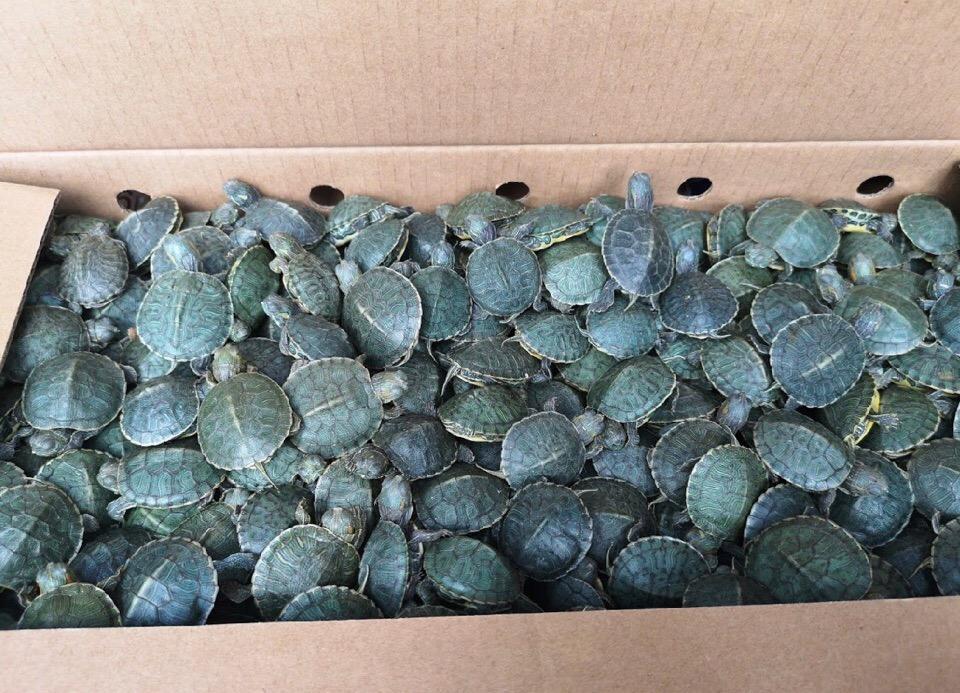3 500 красноухих черепах не прошли контроль на Верхнем Ларсе