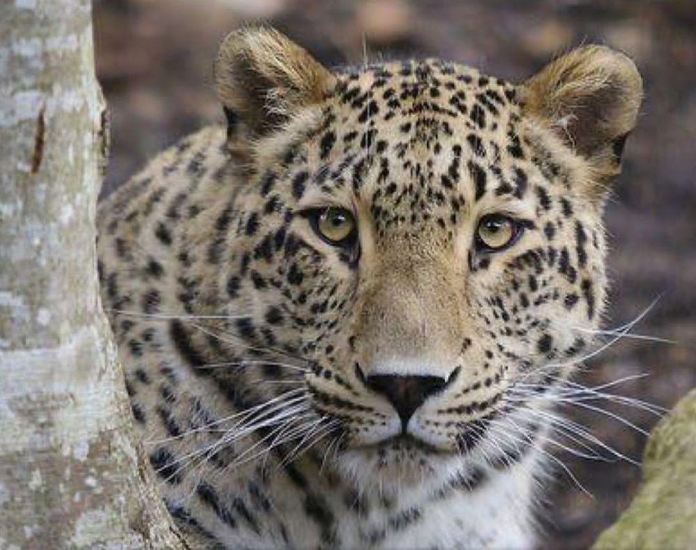 Трех леопардов планируют выпустить в дикую природу Северной Осетии весной-летом 2020 года