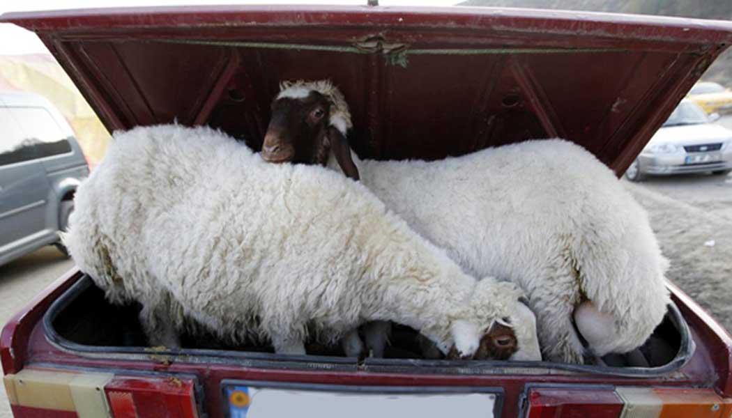 21-летний житель Дигоры задержан за кражу овец