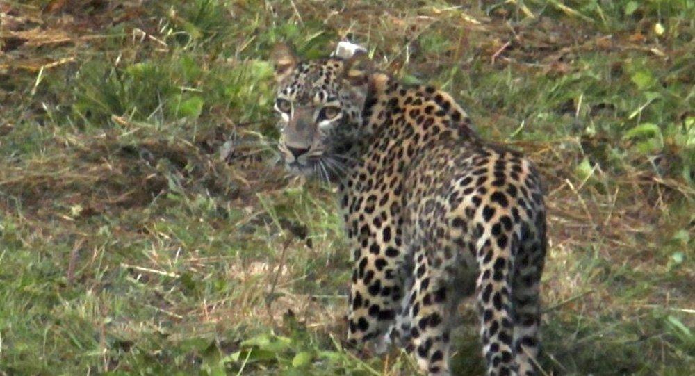 Леопарды Эльбрус и Волна начали охоту на конкурентных хищников и впервые встретились друг с другом