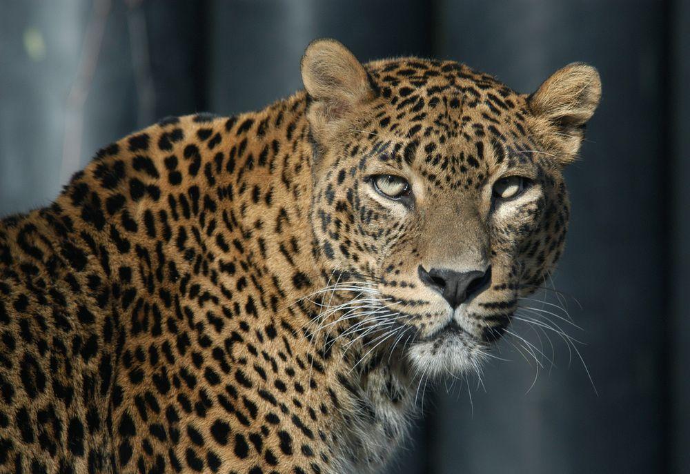 Экспедиций по поиску пропавшего леопарда Эльбруса больше не будет